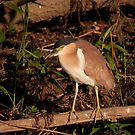 Nankeen Night Heron, Yellow Water, Kakadu National Park by Erik Schlogl