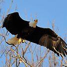 Bald Eagle Mother by Bill Miller