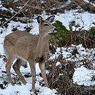 Young White-tailed deer by Bill Miller