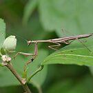 False Garden Mantis by Andrew Trevor-Jones