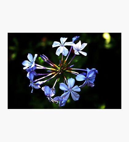 Agapantha Blue Photographic Print