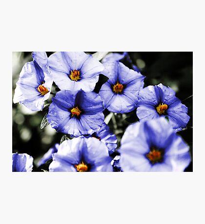 Petunia Blue Photographic Print