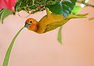 Golden Palm Weaver 3 by David Clarke