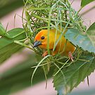 Golden Palm Weaver 7 by David Clarke