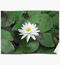 white lily in a sea of green Poster