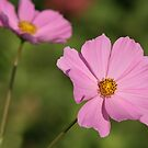 Pink Cosmos by BigD