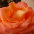 Rose Macro by kalaryder