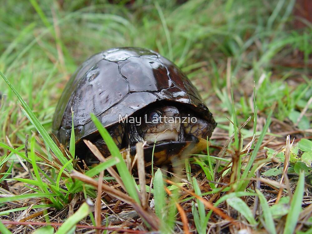 Box turtle in the rain by May Lattanzio