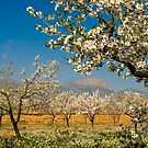 Spanish Almond Grove by Stephen Knowles
