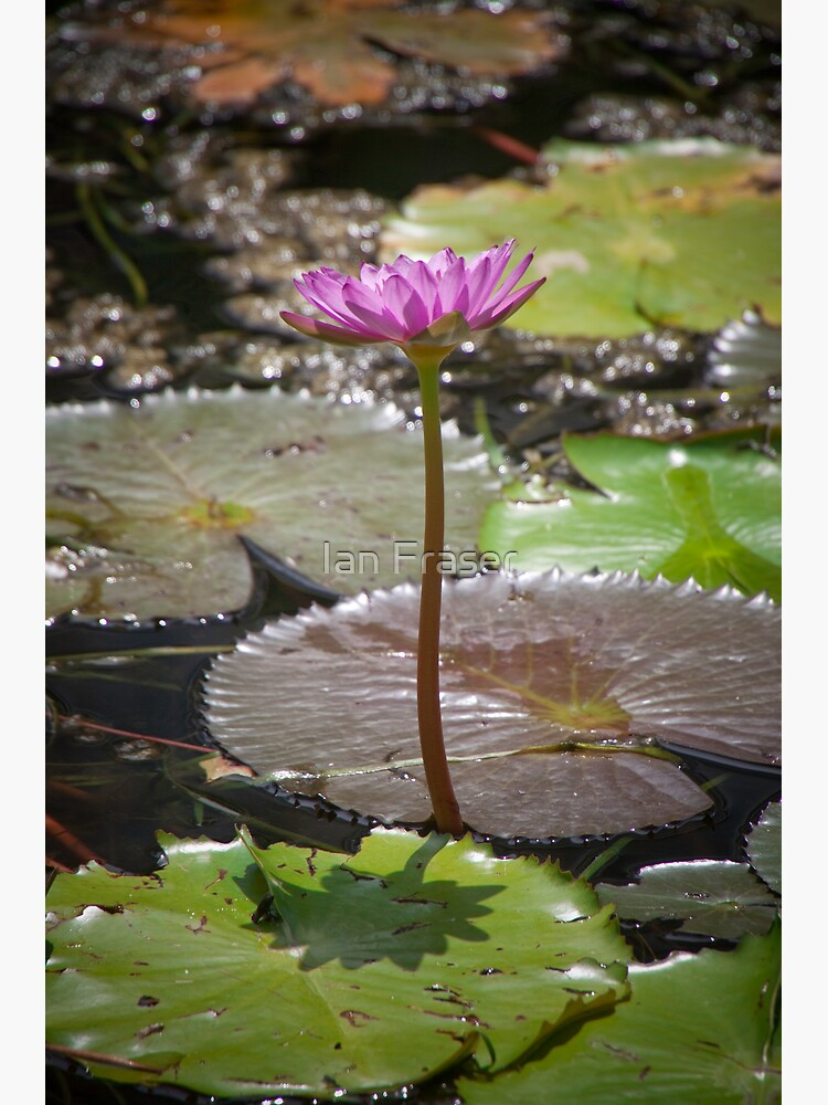 Water Lilly by Mowog