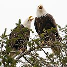 Bald Eagles:  Mated Pair Calling by David Friederich