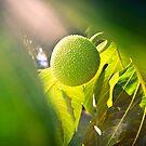 Ulu Fruit Tree by Angelina Hills