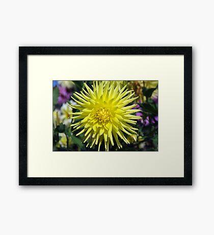 Big Yellow Dahlia Framed Print