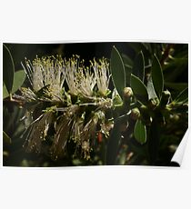 Bottlebrush Lights Poster