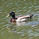 A  Leisuraly SwimFor Jake The Duck by Linda Miller Gesualdo
