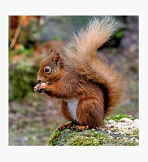 Red Squirrel. Photographic Print