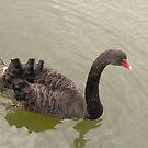 Black Swan by dougie1