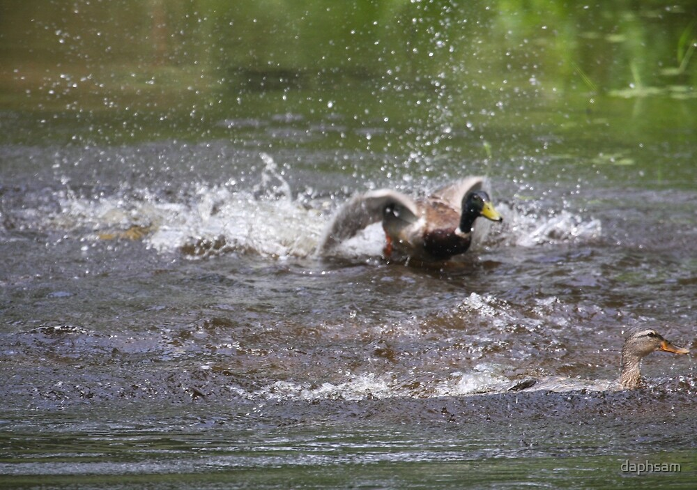 Splashing Around Mallards by daphsam