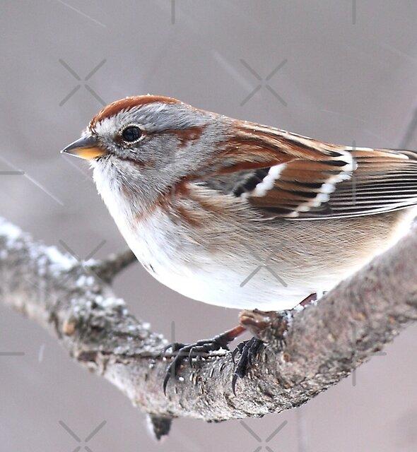 American Tree Sparrow by Jim Cumming