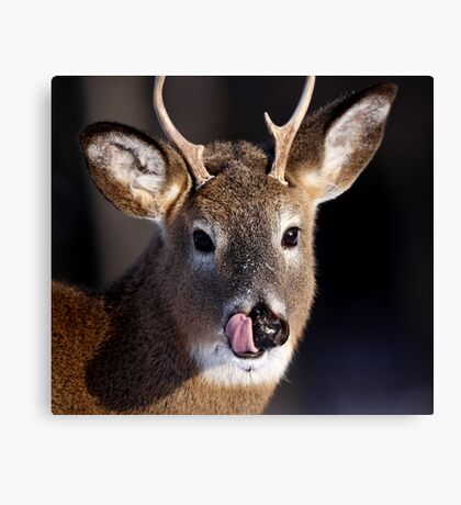 Young Whitetail Buck  Canvas Print