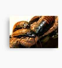 Madagascar Hissing Cockroach Canvas Print