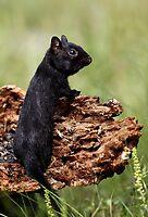 Black chipmunk by Jim Cumming
