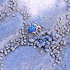 Little blue Crab.....Tropical North Queensland.....Australia by Imi Koetz