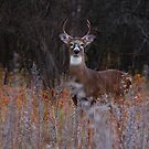 A regal stance - White-tailed Deer by Jim Cumming