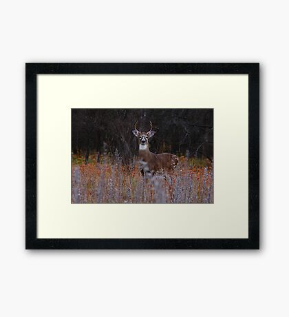 A regal stance - White-tailed Deer Framed Print