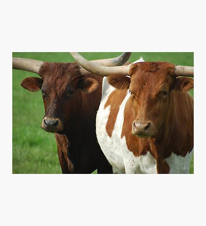 The Bovine Brothers Photographic Print