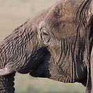 Sunset elephant by David Clarke