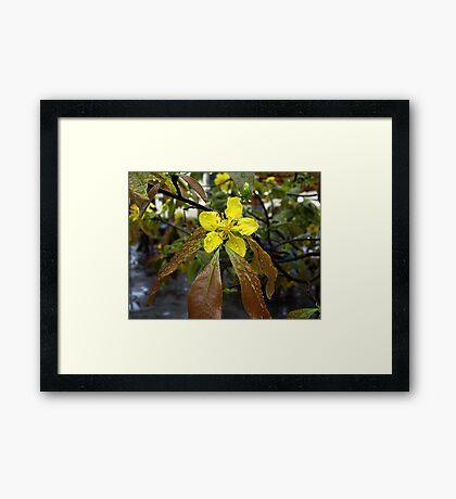 Flowering Apricot Tree, Hoi An, Vietnam Framed Print