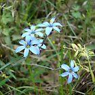 Blue-eyed Grass by May Lattanzio