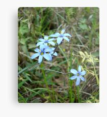 Blue-eyed Grass Metal Print