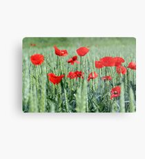 poppy red flower and green wheat Metal Print