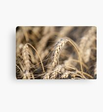 wheat close up nature background  Metal Print
