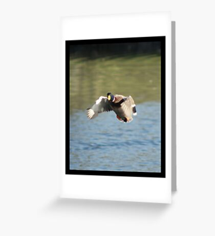 Mallard Duck Flying Greeting Card