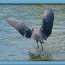 Reddish Egret by glink