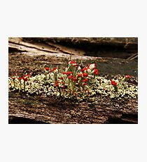 What Is It? Solved by CynLynn,  British Soliders Lichens Photographic Print