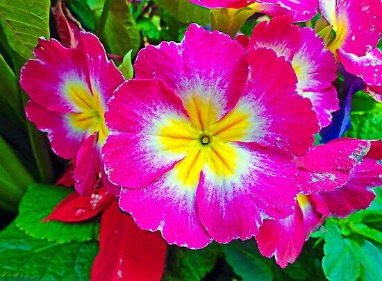 Carmel Primrose  by Robert Meyers-Lussier