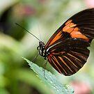 Orange Butterfly by Rachel Blumenthal