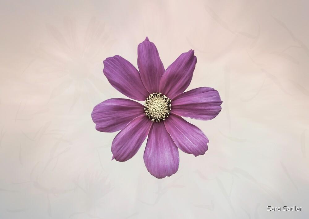 Purple Cosmos Flower by Sara Sadler