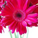 Pink Gerbera Daisies by Rachel Blumenthal