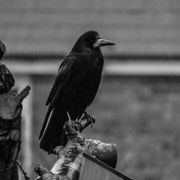 The Crow by Departed