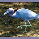Blue Heron by glink