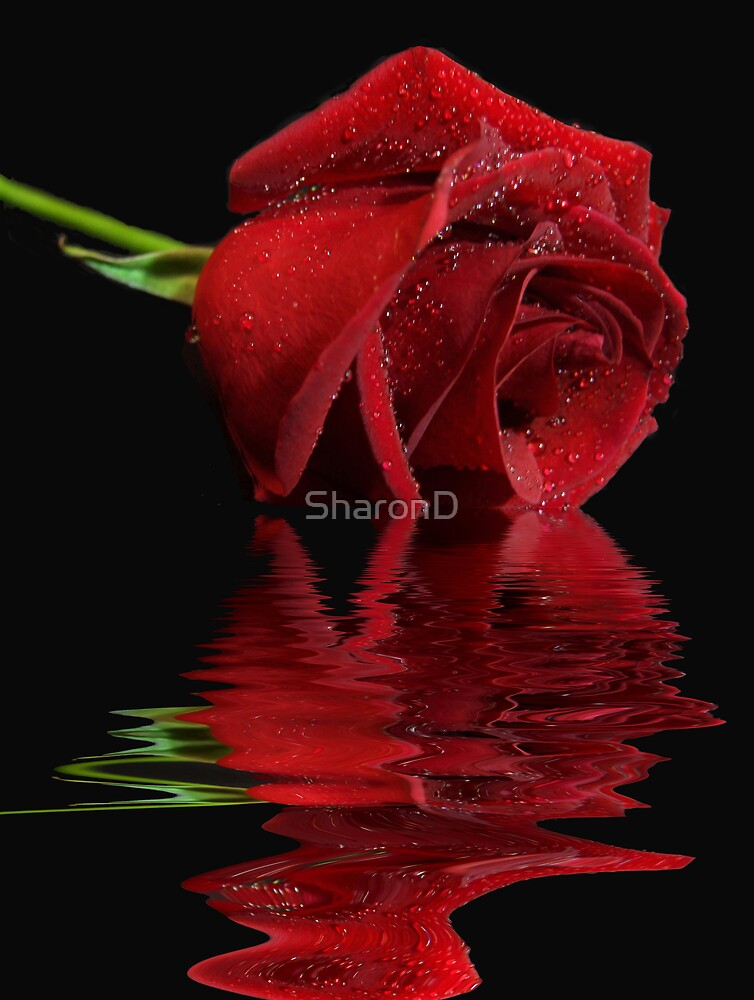 Radiant Rose Reflected by SharonD