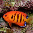 Flame Angelfish by Andrew Trevor-Jones
