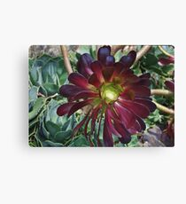 Black Aeonium Canvas Print