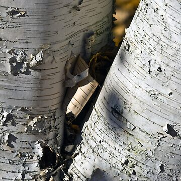 white birch by emtee656