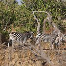 Grevy's zebra (Equus grevyi) by Laura Puglia